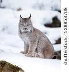 canada lynx in winter | Shutterstock . vector #528853708