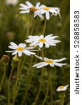 White Daisey Flowers In The...