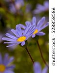 Blue And Yellow Daisey Flowers...