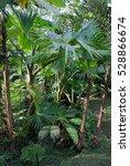 rain forest plants   vegetation ... | Shutterstock . vector #528866674