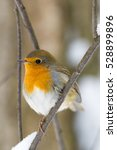 Robin On A Branch  Russia ...