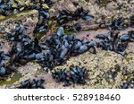 Small photo of Mussels attached at rocks in the galician coast. Bivalve mollusk. Mytilus adulis