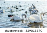 swans wintering in the crimea.... | Shutterstock . vector #529018870