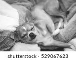 chihuahua relaxing in black and ... | Shutterstock . vector #529067623