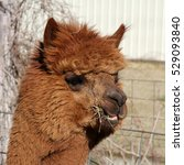 Small photo of Brown Alpaca Chewing Hay - close up photograph of a brown alpaca chewing on hay. Selective focus on the alpaca's face.