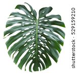 monstera extra large tropical... | Shutterstock . vector #529159210