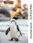 African Penguin  On The Sandy...