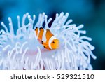 Clownfish Live In Bleached Sea...