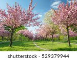 Japanese Cherry Blossoms In...