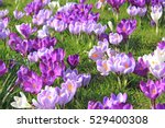Purple And White Crocuses On A...