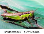 Grasshopper On A Green Leaf