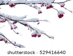 red bunches of rowan covered... | Shutterstock . vector #529416640