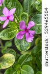 Small photo of Closeup Vinca flowers or Madagascar periwinkle with blurred background. The images captured with selective focus on the flower to create shallow depth of field or bokeh.