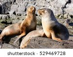 Sea Lions On Isla In  Beagle...