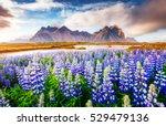 majestic lupine flowers glowing ...   Shutterstock . vector #529479136