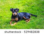 Small photo of Dwarf Pinscher on the meadow