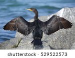a double crested cormorant ... | Shutterstock . vector #529522573