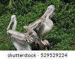 Two Pelican
