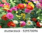 Zinnia Elegans Flowers In The...