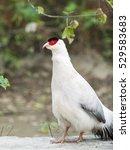 White Eared Pheasant ...