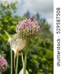 Small photo of Home Grown Organic Flower Head of Elephant Garlic (Allium ampeloprasum) on an Allotment in a Vegetable garden in Rural Devon, England, UK
