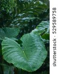Small photo of Alocasia leaf - rain forest plants - vegetation of tropical forest