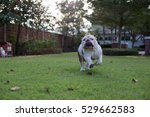 Stock photo white bulldog run on the grass and show tongue in the park 529662583