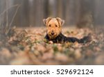 Airedale Terrier Dog In The...