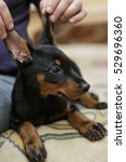 Stock photo doberman funny puppy lies on the bad with raised up ears by his owner 529696360