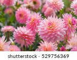 colorful of dahlia pink flower... | Shutterstock . vector #529756369