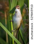 Small photo of cute bird green nature background Great Reed Warbler / Acrocephalus arundinaceus