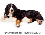 Bernese Mountain Dog In Front...