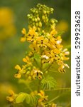 Small photo of Cassia hebecarpa, with the common names American senna and wild senna, is a species of legume