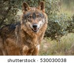 Cute Iberian Wolf Portrait ...