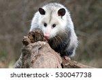 Female Possum In Search Of Grubs