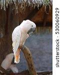 White Cockatoo Bird  Salmon...