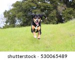 Stock photo entlebucher dog running through the grass 530065489
