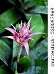 Small photo of Aechmea fasciata flower plants in Suanluang RAMA IX,Thailand