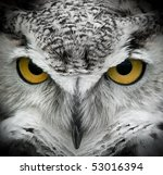 Great Horned Owl  Bubo...
