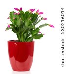 Blooming Cactus In A Red Pot