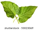 sunflower leaves isolated on a... | Shutterstock . vector #53023069