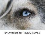 Close Up Shot Of Siberian Husk...