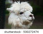 Llama  Lama Glama . Domestic...