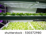 organic hydroponic vegetable... | Shutterstock . vector #530372980