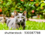 thailand siamese cat name ... | Shutterstock . vector #530387788