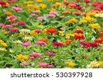 Beautiful Zinnia Flowers...