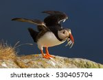 Colorful Seabird  Fratercula...