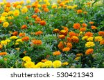Marigolds In The Garden.