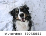 Bernese Mountain Dog Head With...