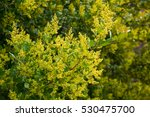 Small photo of Close-up of australian acacia howittii yellow flowers